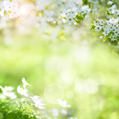 Sunny spring landscape with white blossoms and bokeh for a easter decoration
