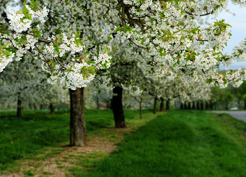 White Blossoms Of A Blooming Cherry Tree In Frauenstein Near Wiesbaden Germany During An Overcast Day