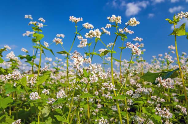 witte bloesem van boekweit planten, groeien in een veld - boekweit stockfoto's en -beelden