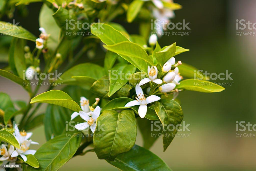 white blossoms of orange tree stock photo