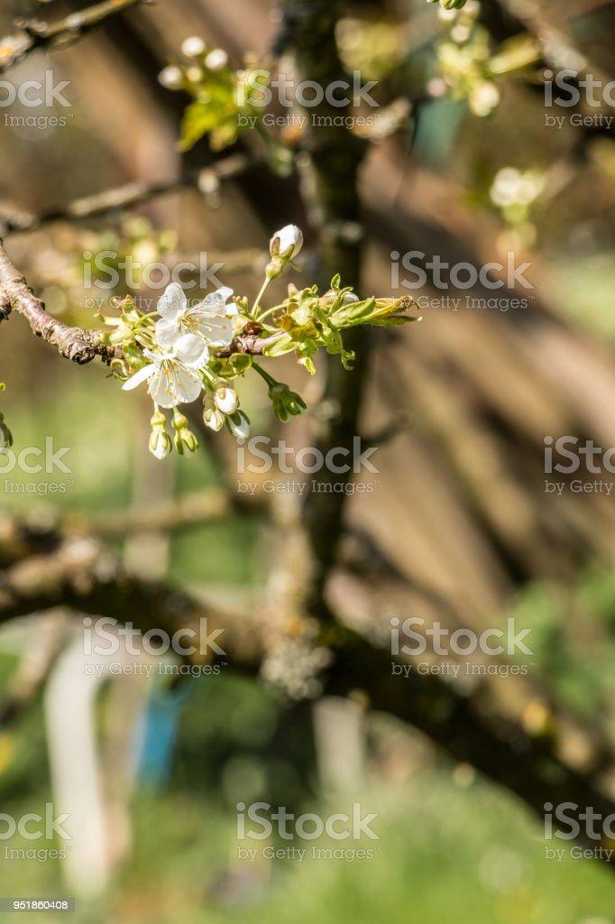 Weiße Blüten an einem Baum auf der grünen Wiese – Foto