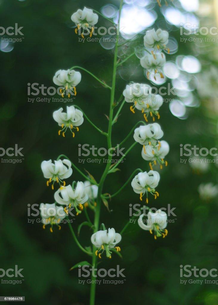 Beyaz çiçekleri yaz royalty-free stock photo