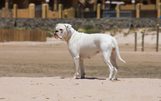 Female white boxer dog playing at the beach of Los Lances, Tarifa, Spain
