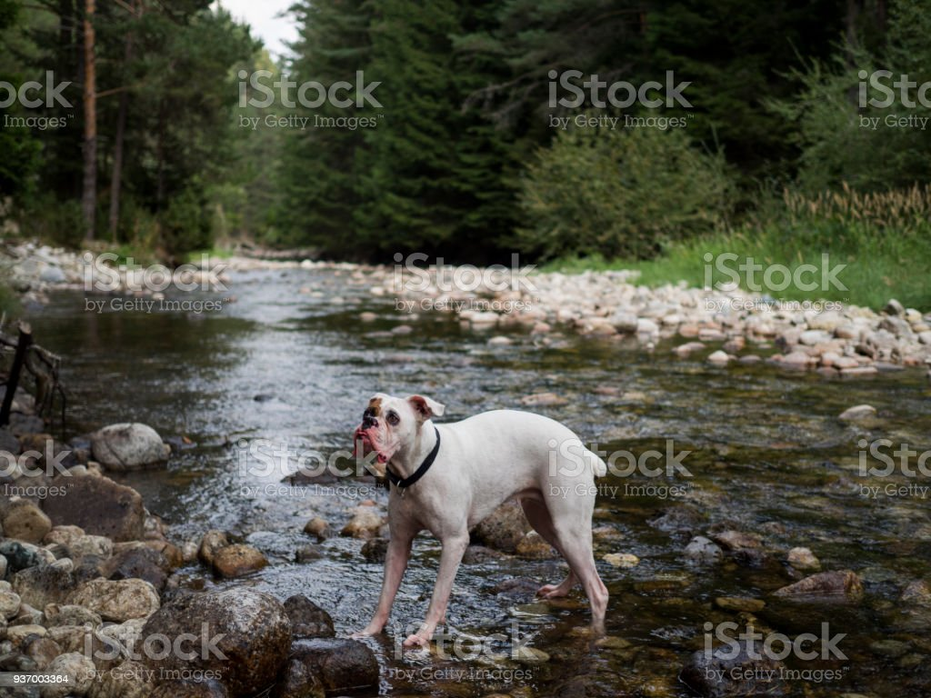 White Boxer Dog Playing In A River Stock Photo - Download