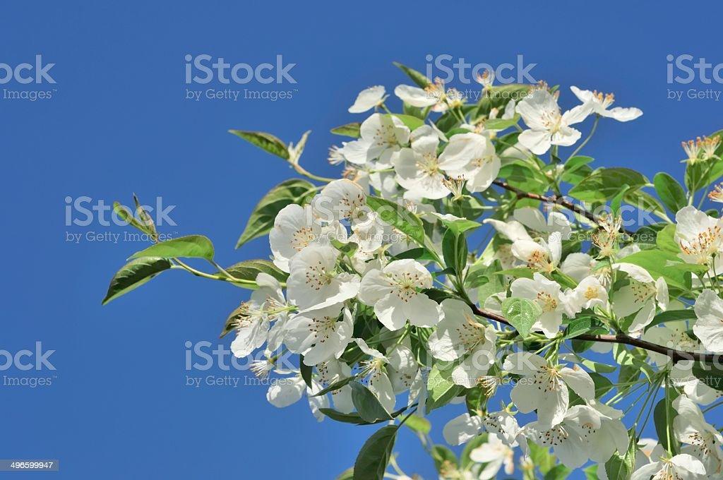 White Bradford Pear Tree Blossoms in Spring stock photo