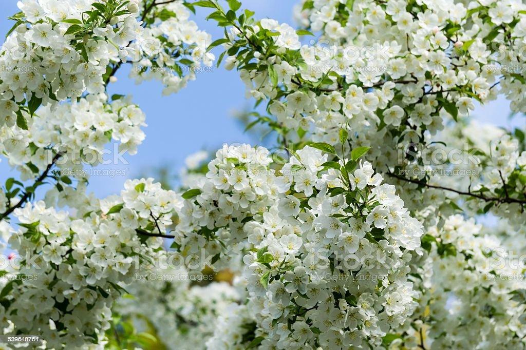 Weiße Bradford Birne Baum Blüten Im Frühling Stock-Fotografie und ...