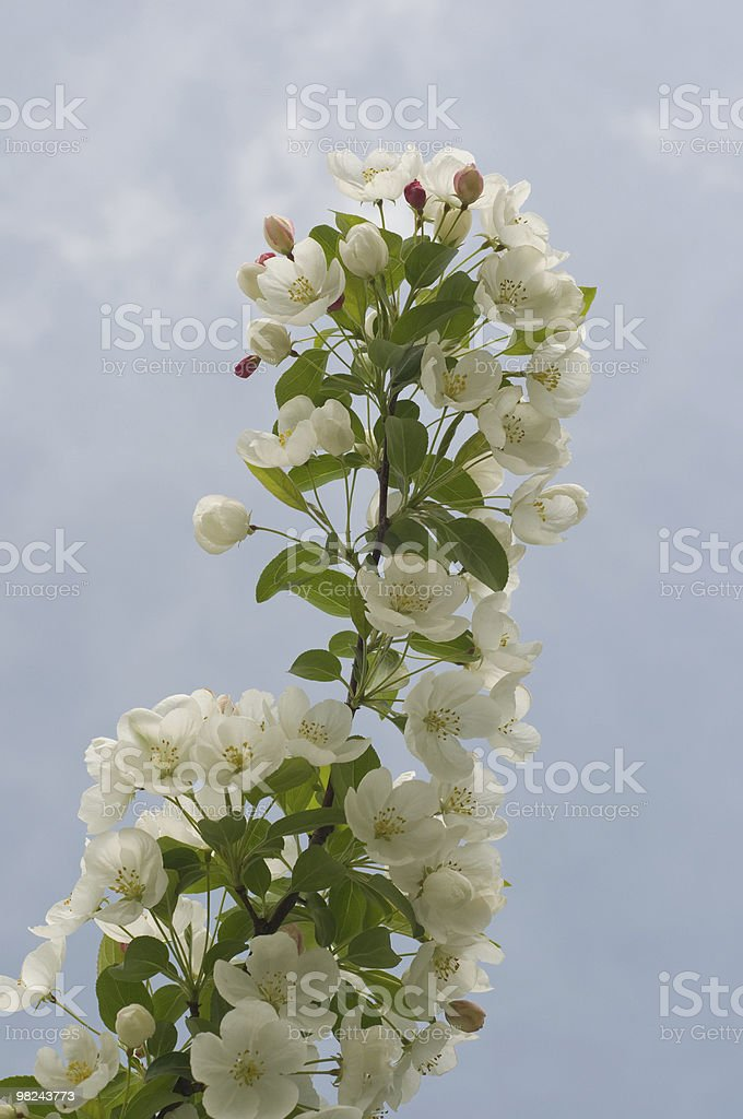 White Bradford Pear Tree Blossoms in Spring royalty-free stock photo