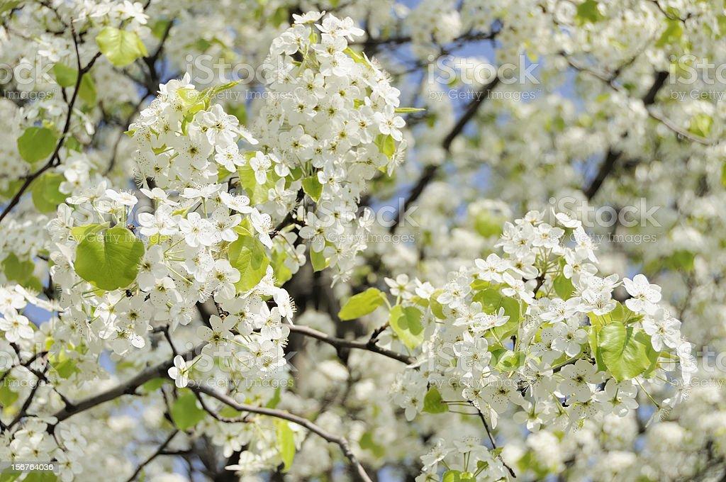 White Bradford Tree Blossoms in Spring stock photo