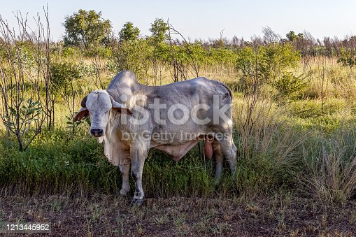white Brahman cattle in the Australian Outback next to a highway, Northern Territory.