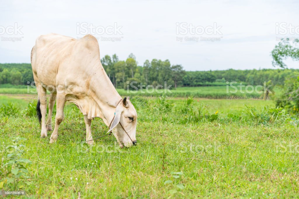 A white brahman cow eating grass in the field stock photo