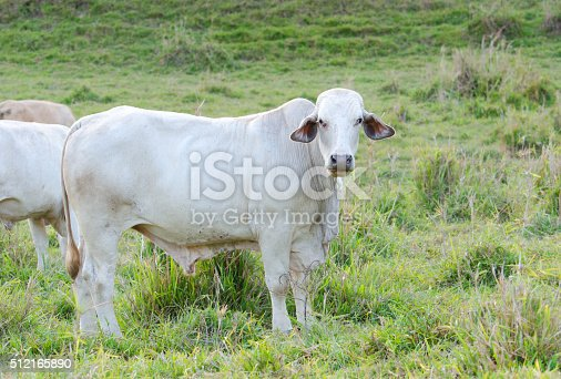 White Brahman Cow grazing in a paddock, Queensland, Australia