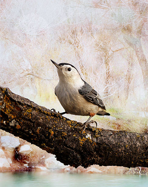 White breasted Nuthatch in a soft colored background. stock photo