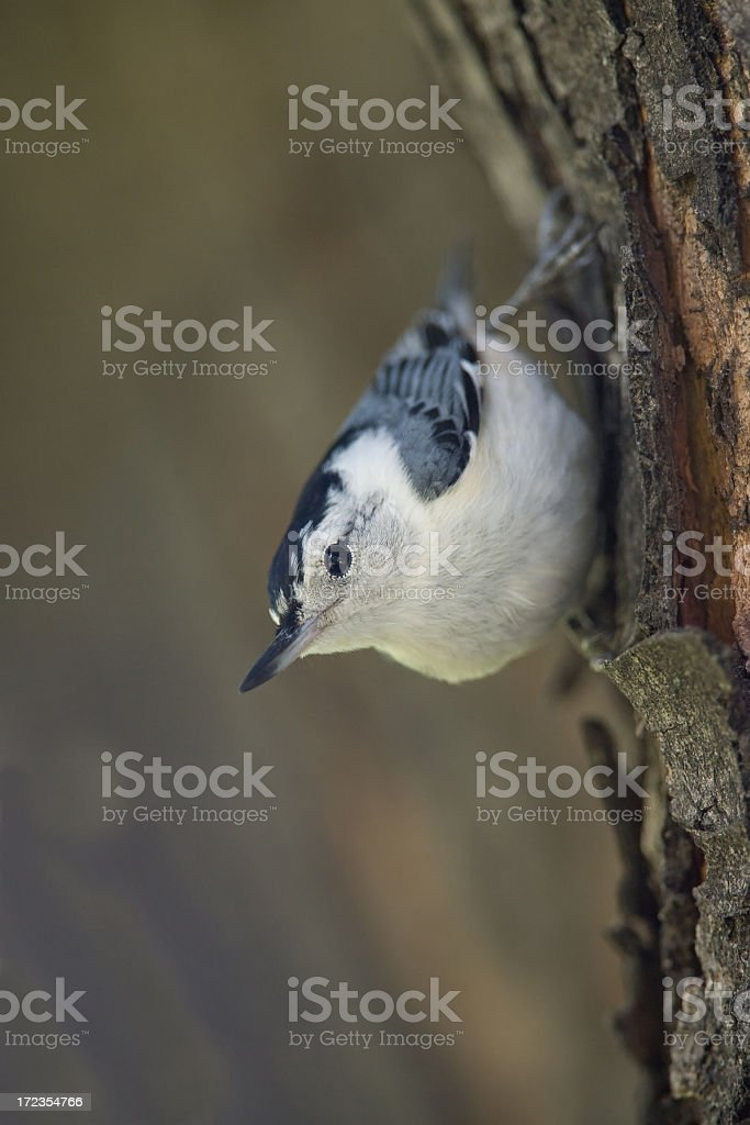 white breasted nuthatch royalty-free stock photo
