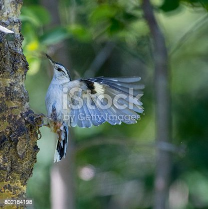 The white-breasted nuthatch is a small songbird of the nuthatch family. Taken near Red Deer, Alberta