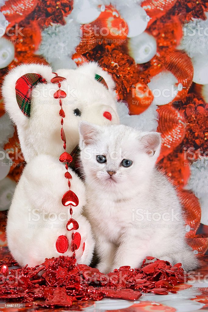 White british kitten royalty-free stock photo