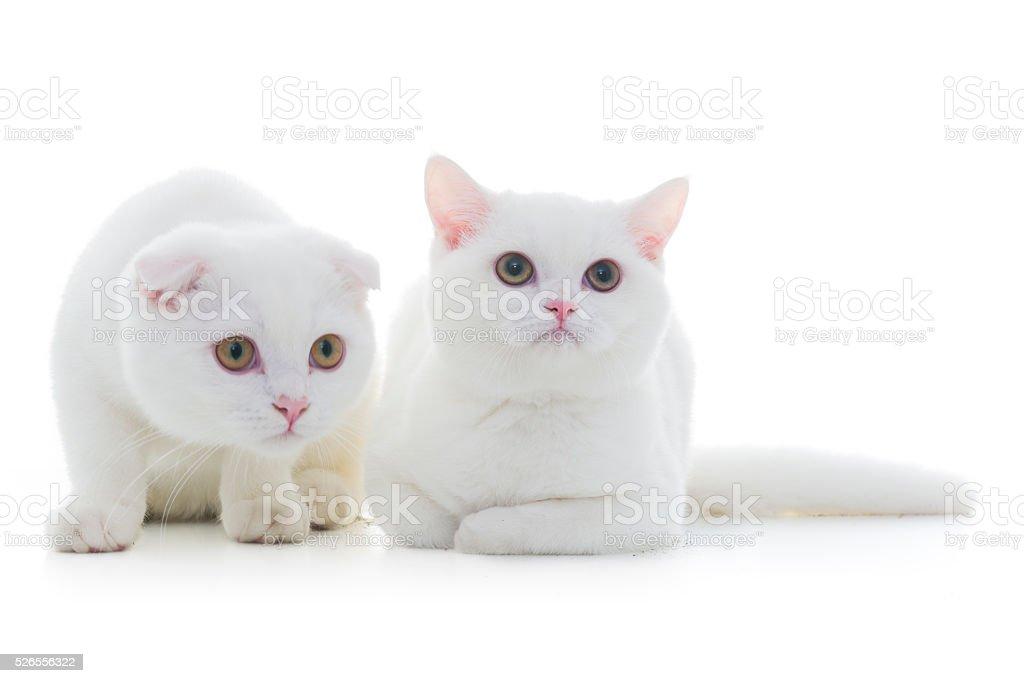 Biały Kot Brytyjski Krótkowłosy Stockowe Zdjęcia I Więcej Obrazów
