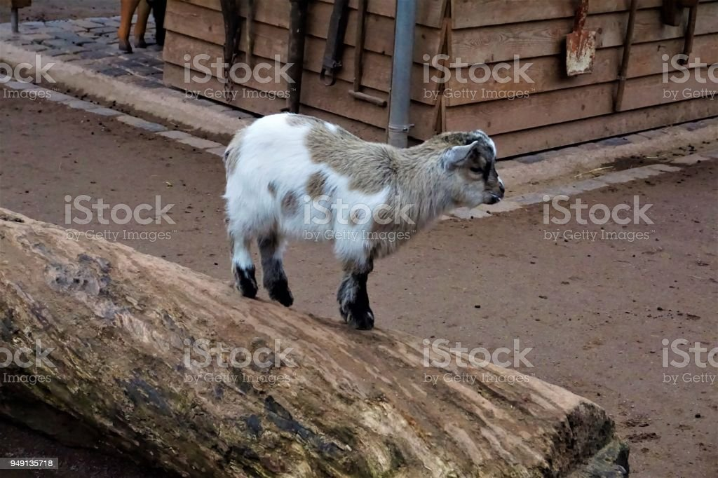White, brown and black baby goat on a trunk stock photo