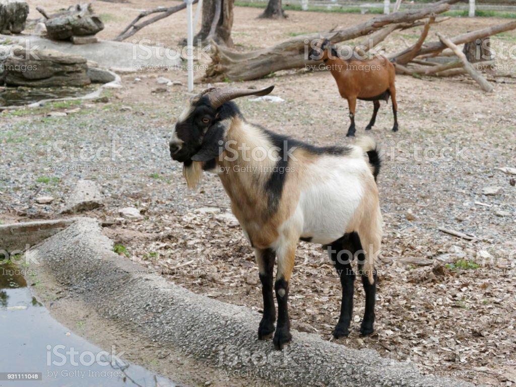 Kuru alan gölette tarafından ayakta beyaz, kahverengi ve siyah keçi - Royalty-free Arka planlar Stok görsel