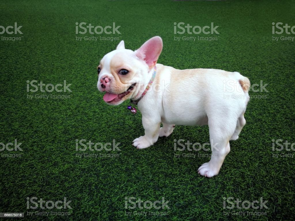 White brown french bulldog puppy standing on green artificial grass stock photo