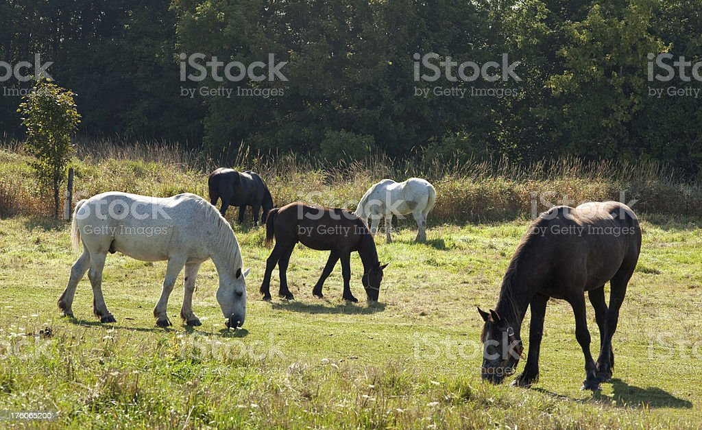 White, Brown Horses Grazing in Peaceful Green Pasture, Field, Grass royalty-free stock photo