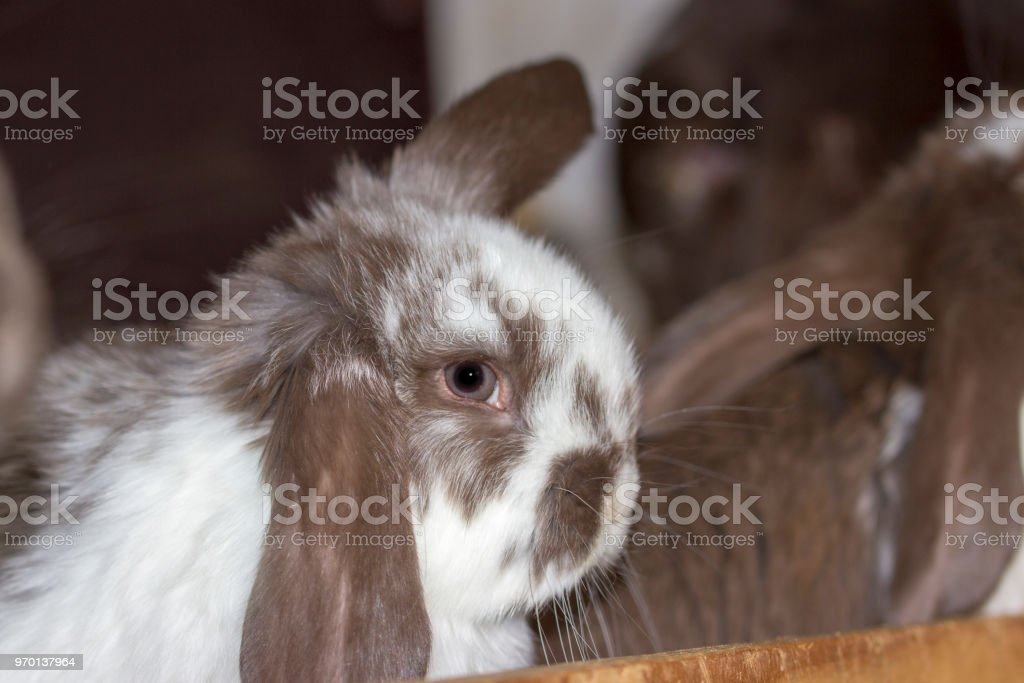 white brown rabbit with floppy ears