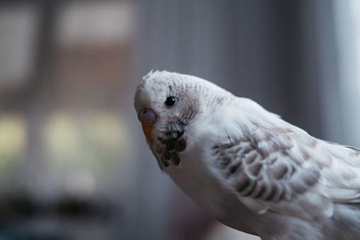 White budgerigar portrait