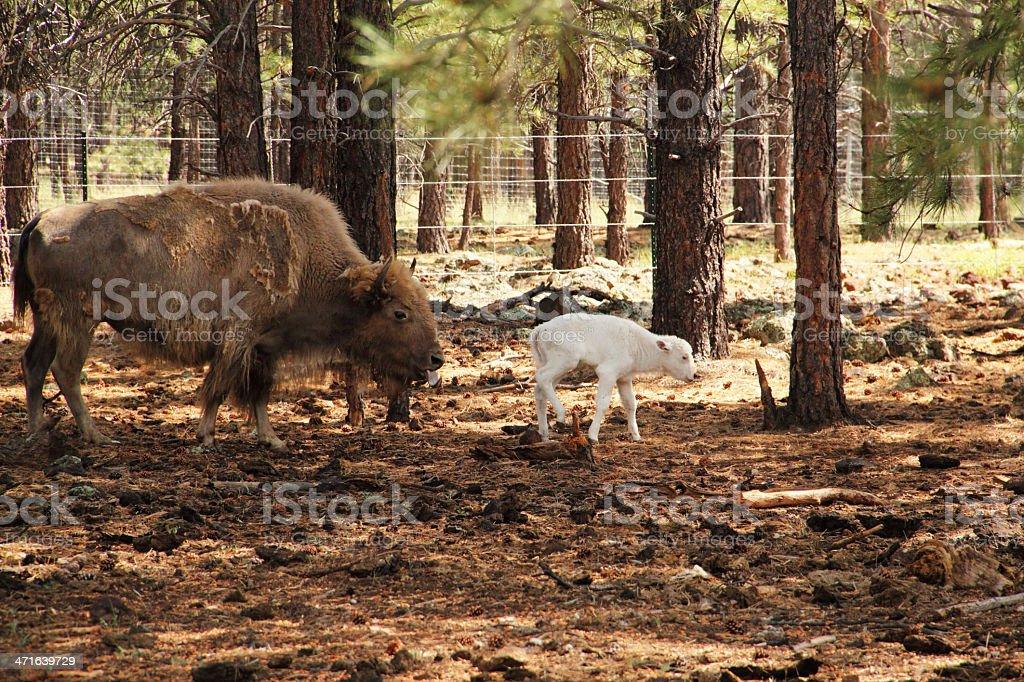 White Buffalo Calf Young Animal royalty-free stock photo