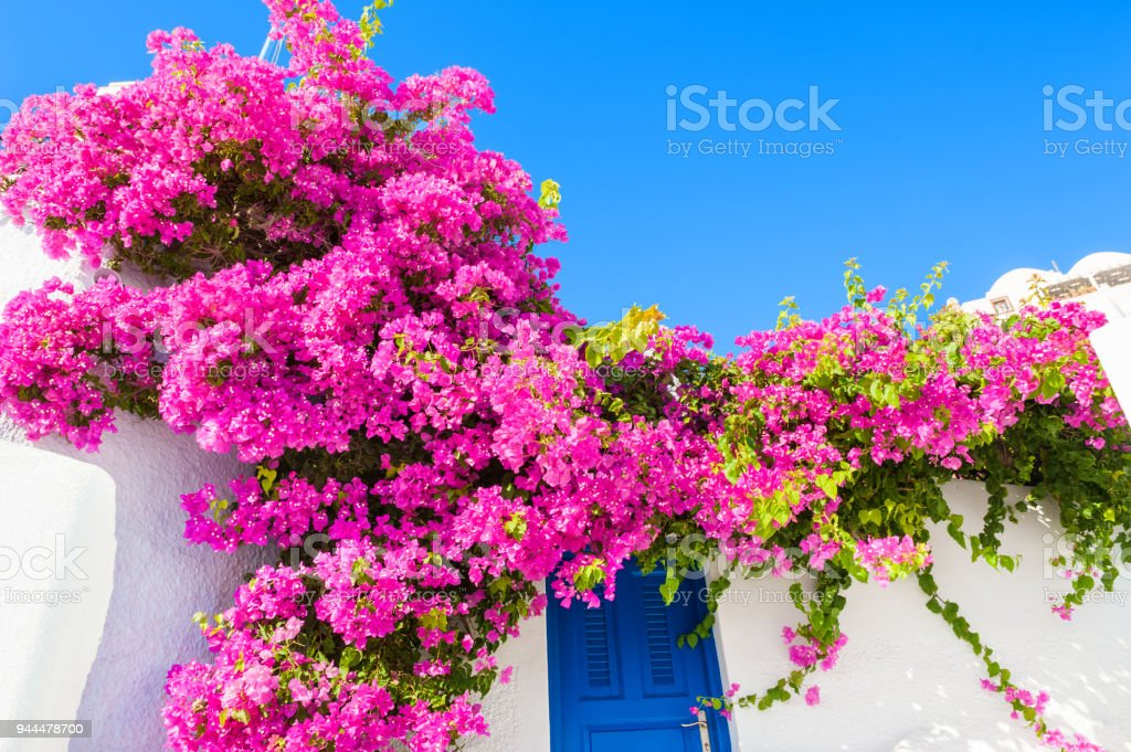White building with blue door and pink flowers. stock photo