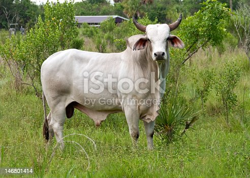 Full body shot of a white Brahman bull looking directly into the camera.Please see my other shots of Brahma bulls & cattle. Horizontal,nobody.