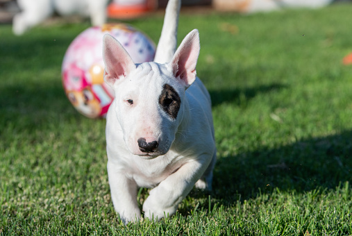 istock White bull terrier puppy playing in the grass 1024123776
