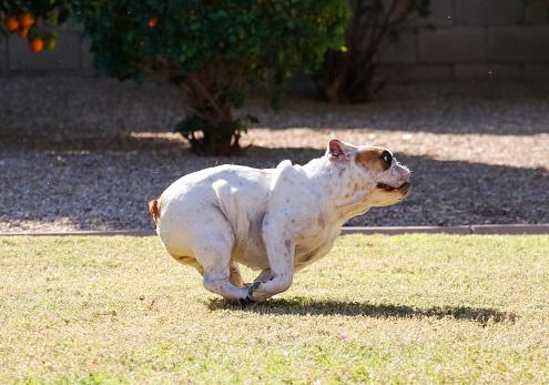 English bulldog doing zoomies in the yard.