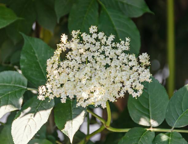 weißen haufen blüten von sambucus, grüne blätter strauch. die verschiedenen arten sind häufig ältere oder holunder bezeichnet. - weißer holunder stock-fotos und bilder