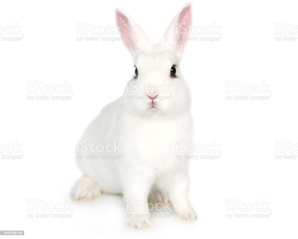 White Bunny isolated on white stock photo