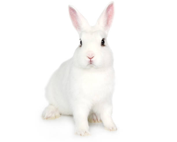 white bunny isolated on white - fotos de coelhos fofos - fotografias e filmes do acervo