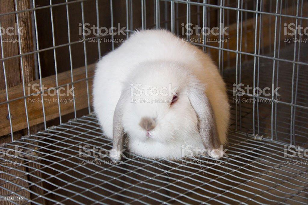 White Bunny - Royalty-free Animal Stock Photo