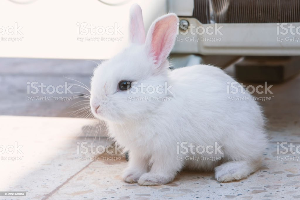 white bunny rabbit looking to viewer stock photo