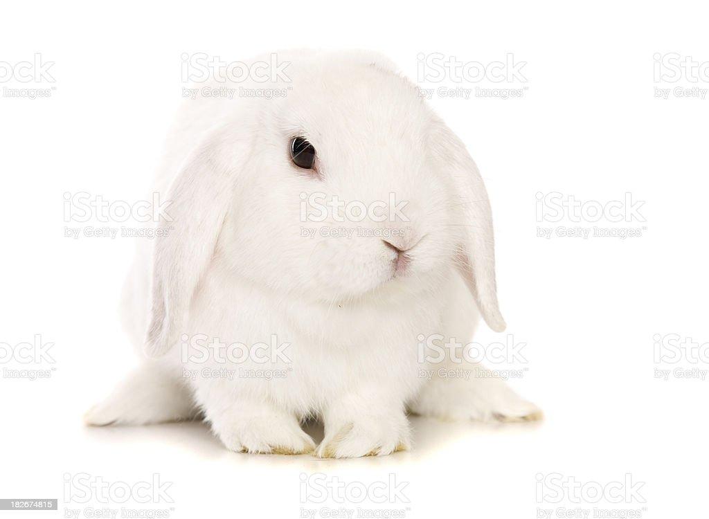 White Bunny Rabbit stock photo