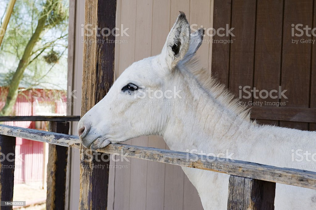 White burro, head profile; Oatman, AZ, USA stock photo