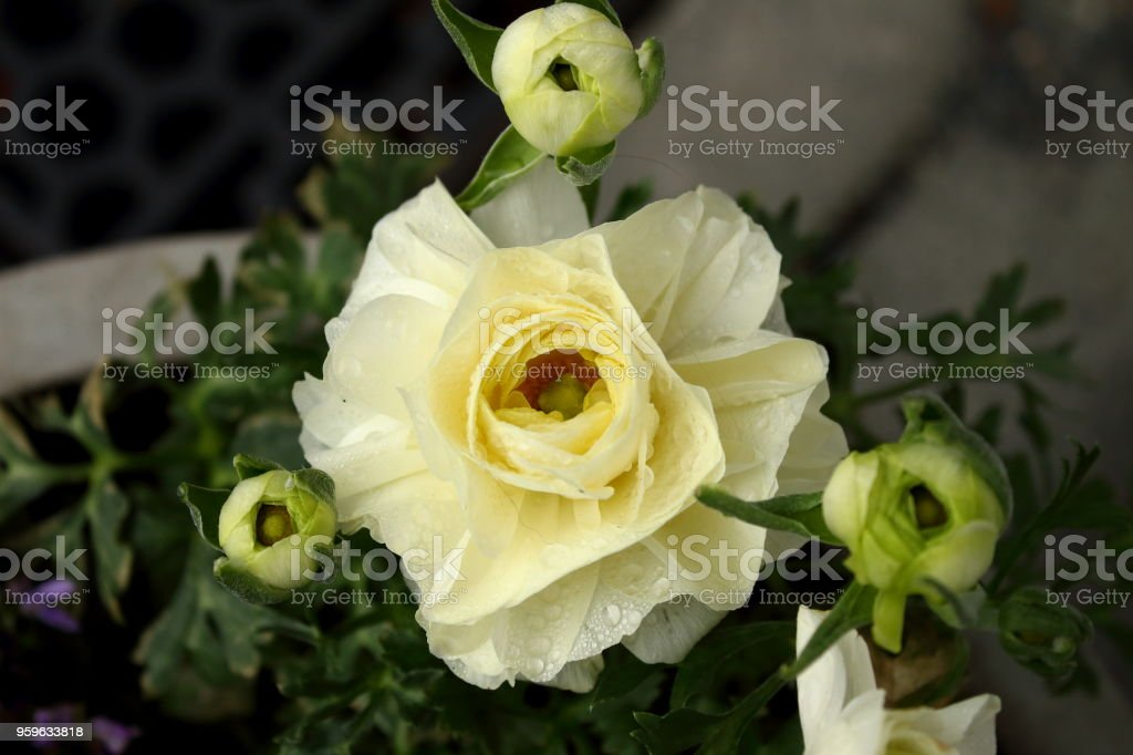 Ranúnculo blanco flores de cerca - Foto de stock de Aire libre libre de derechos