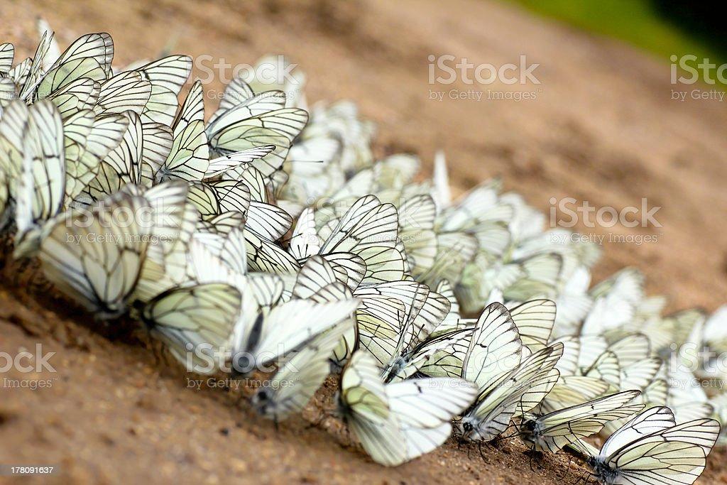 White butterflies. royalty-free stock photo
