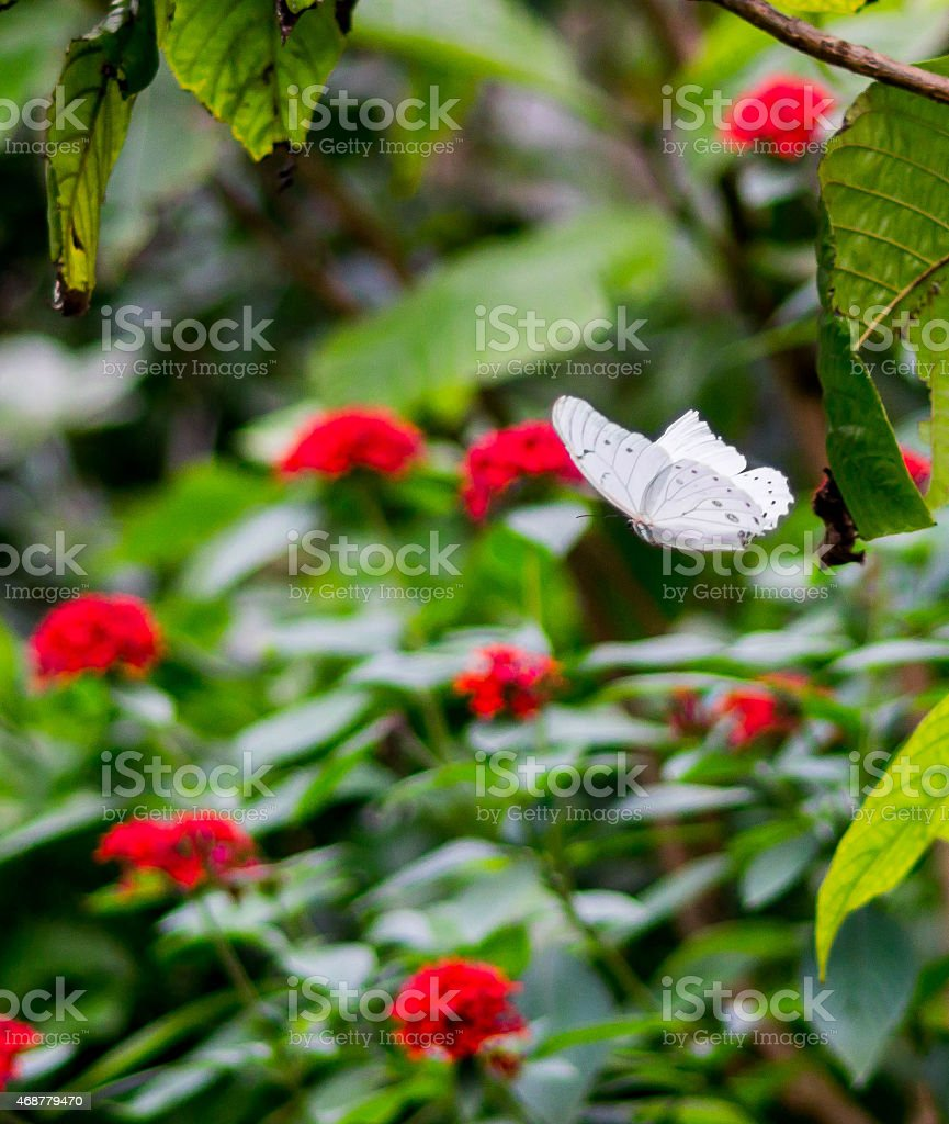 White Butterfly In Flight stock photo