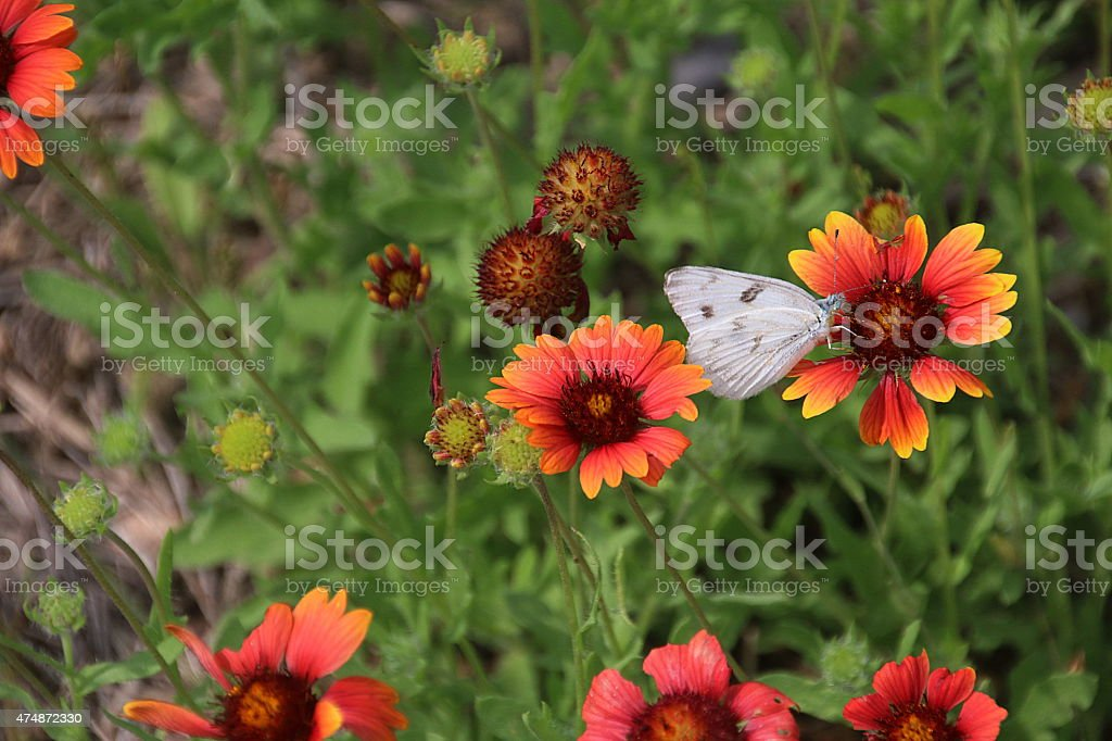 White Butterfly - Laredo, Texas stock photo