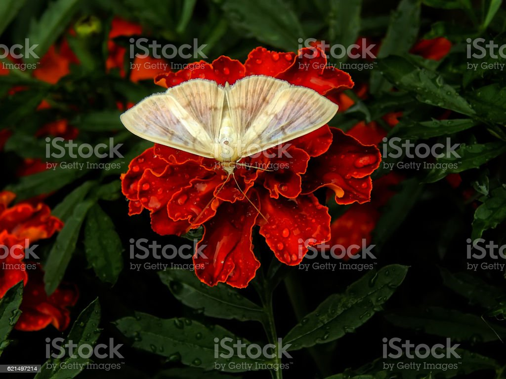 White butterfly on a flower carnation closeup foto stock royalty-free