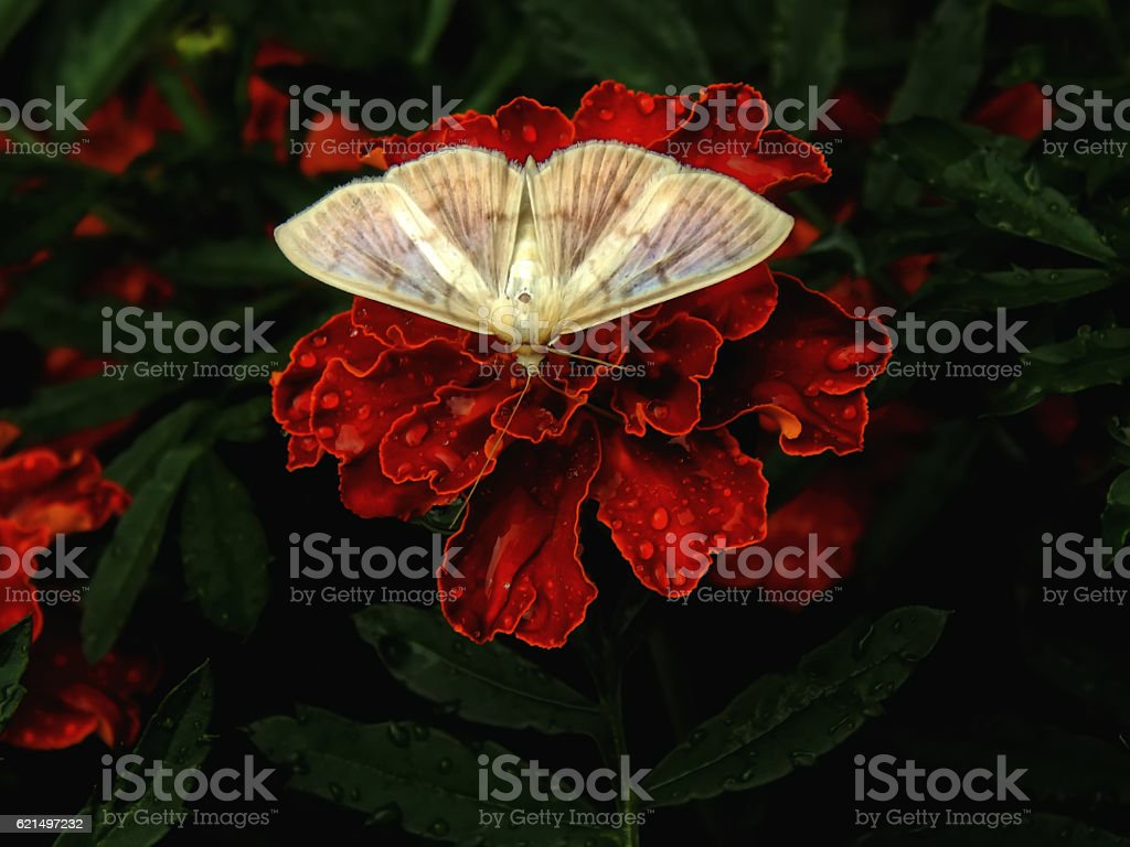 White butterfly on a flower carnation closeup Lizenzfreies stock-foto