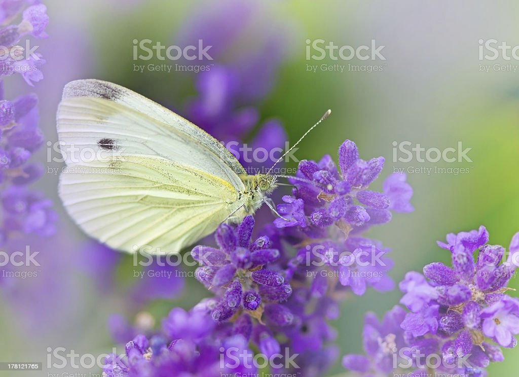White butterfly on lavender royalty-free stock photo