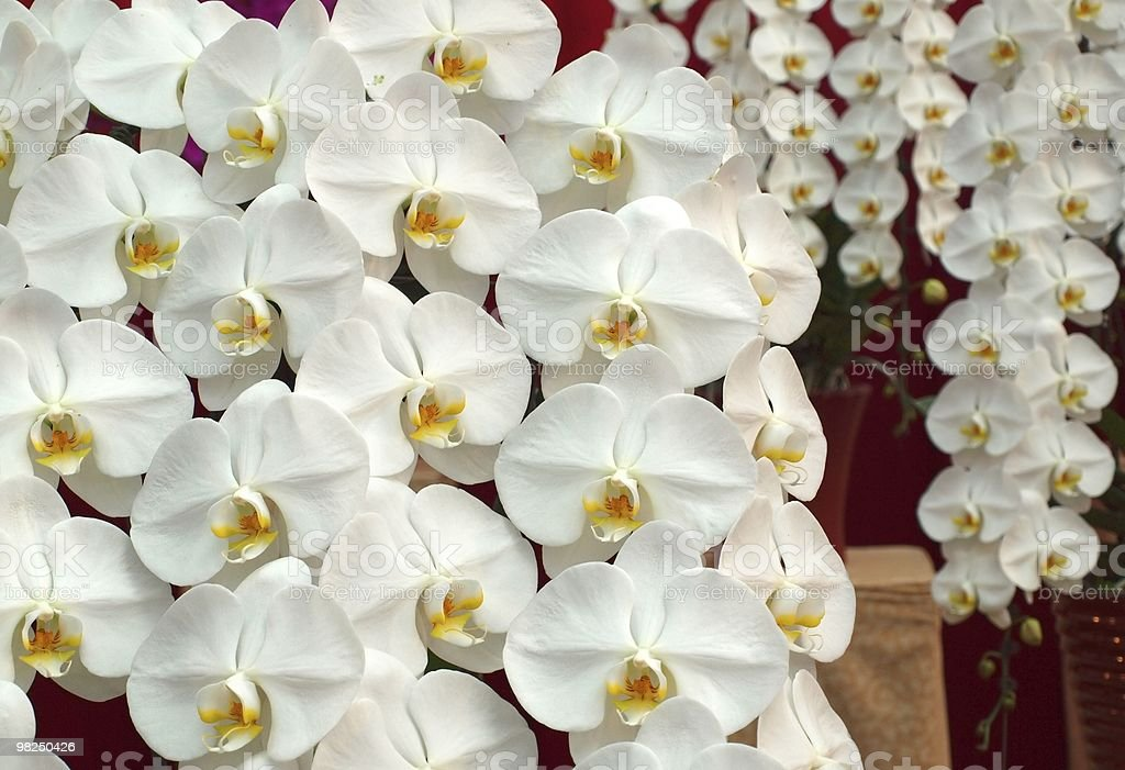 White Butterfly Orchids royalty-free stock photo