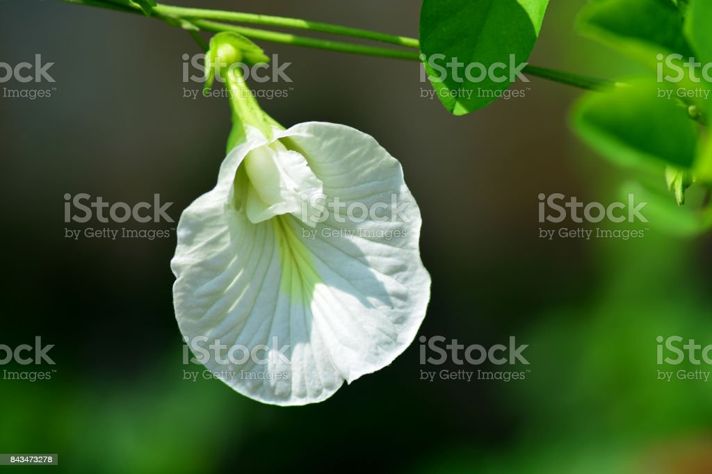 White Butterfly Pea flower. stock photo