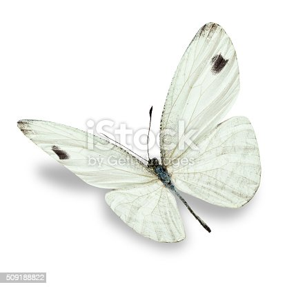 istock white butterfly 509188822