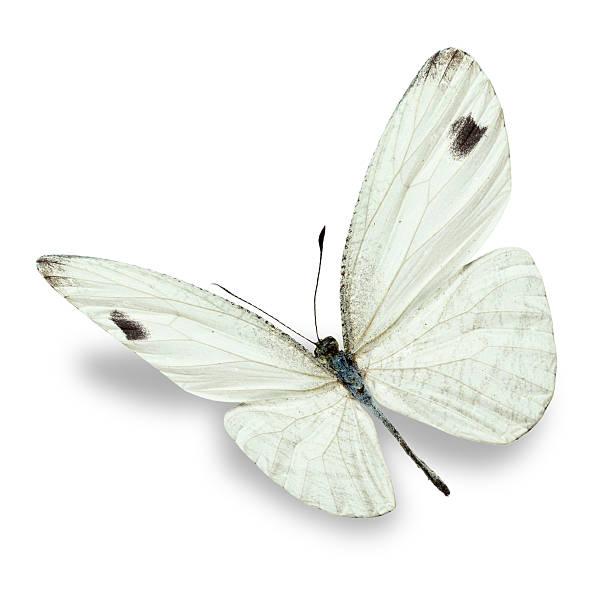 White butterfly picture id509188822?b=1&k=6&m=509188822&s=612x612&w=0&h=y1shyzaheczaak99 rm2 kru4bz7lhk5xz9d2dsj9h4=