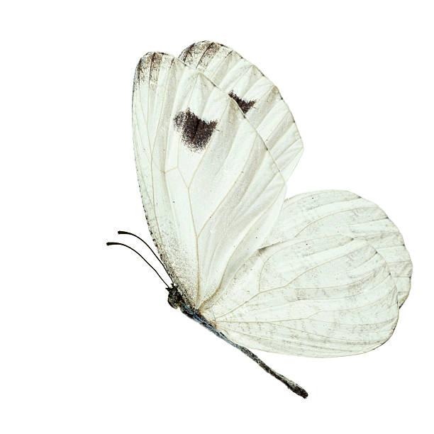 White butterfly picture id509188840?b=1&k=6&m=509188840&s=612x612&w=0&h=vfjojsxfxnmmm5e1livf8t7gpo f7tfvmoj3zzww8m4=